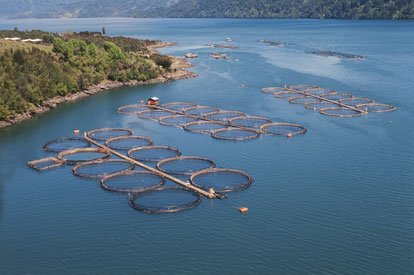 Salmon cages