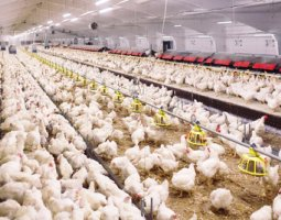 Salmonella on Poultry farm