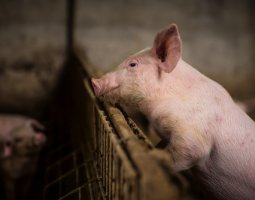 Salmonella on pig farm